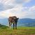 cow on mountain pasture stock photo © byrdyak