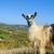 keçi · dağ · kimse · gökyüzü - stok fotoğraf © byrdyak
