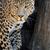 leopard · portret · ciemne · Afryki · czarny - zdjęcia stock © byrdyak
