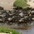 wildebeest cross a river while migrating stock photo © byrdyak