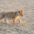 лев · ЮАР · Focus · природы · животного · мужчины - Сток-фото © byrdyak