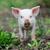 aranyos · kicsi · disznó · kismalac · szabadtér · nyár - stock fotó © byrdyak
