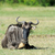wildebeest stock photo © byrdyak