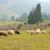群れ · 羊 · 道路 · 春 · 草 - ストックフォト © byrdyak
