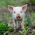Piglet on farm stock photo © byrdyak