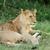 leão · retrato · masculino · africano · cabeça - foto stock © byrdyak