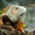 クローズアップ · 緑 · イグアナ · 選択フォーカス - ストックフォト © byrdyak