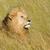 güneybatı · Afrika · aslan · yetişkin · erkek · esaret - stok fotoğraf © byrdyak