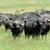 buffalo stock photo © byrdyak