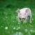 fiatal · disznó · fű · tavasz · zöld · fű · nyár - stock fotó © byrdyak