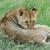 fiatal · oroszlán · harap · fül · természet · macska - stock fotó © byrdyak