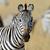 зебры · портрет · игры · резерв · красивой - Сток-фото © byrdyak