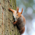 red squirrel stock photo © byrdyak