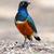 superb starling stock photo © byrdyak