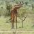 girafa · savana · safári · serengeti · Tanzânia · África - foto stock © byrdyak