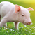 young pig on a green grass stock photo © byrdyak