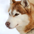 siberian husky dog winter portrait stock photo © byrdyak