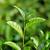 çay · tomurcuk · yaprakları · yaprak · yeşil · taze - stok fotoğraf © byrdyak