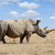african white rhino stock photo © byrdyak