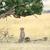 Afrika · çita · Afrika · Kenya · bahar - stok fotoğraf © byrdyak