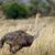 страус · африканских · грунтовая · дорога · природы · птица - Сток-фото © byrdyak