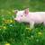 fiatal · disznó · farm · profil · kilátás · szín - stock fotó © byrdyak