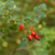 vermelho · rosa · quadris · ramo · folha - foto stock © c12