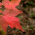 Red Maple Leaves stock photo © ca2hill