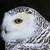 coruja · quadro · masculino · olhos · natureza - foto stock © ca2hill