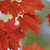 vibrant red maple leaves stock photo © ca2hill