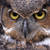 Great Horned Owl Eyes stock photo © ca2hill