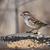 american tree sparrow on bird feeder stock photo © ca2hill