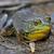 large bullfrog stock photo © ca2hill