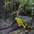 vergadering · moeras · wachten · buit · kikker · dier - stockfoto © ca2hill