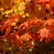 orange autumn sugar maple stock photo © ca2hill