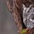 senny · Sowa · wschodniej · posiedzenia · drzewo - zdjęcia stock © ca2hill
