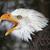 screeching bald eagle stock photo © ca2hill