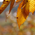 beech tree leaves in fall stock photo © ca2hill