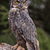 great horned owl stare stock photo © ca2hill