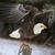 careca · Águia · postar · posando · asas · para · cima - foto stock © ca2hill