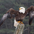 bald eagle with wings stretched stock photo © ca2hill