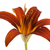 Isolated Red Lily on White stock photo © ca2hill
