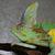 male veiled chameleon stock photo © ca2hill