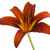 Red Lily Isolated on White stock photo © ca2hill
