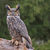 great horned owl in the rain stock photo © ca2hill
