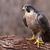 zangado · falcão · aves · animais · mundo · natureza - foto stock © ca2hill