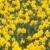 daffodils stock photo © calek