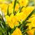 Geel · narcissen · oude · houten · Pasen · bloem - stockfoto © candyboxphoto