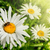 Springtime and daisies stock photo © carloscastilla