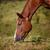 horse eating grass stock photo © castenoid